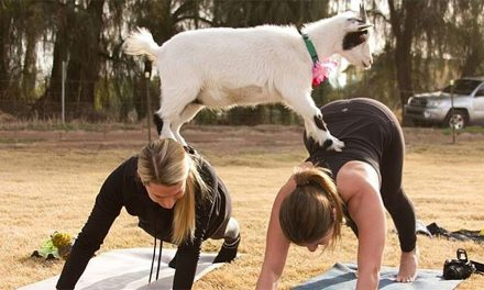 How to downward dog in Goat Yoga
