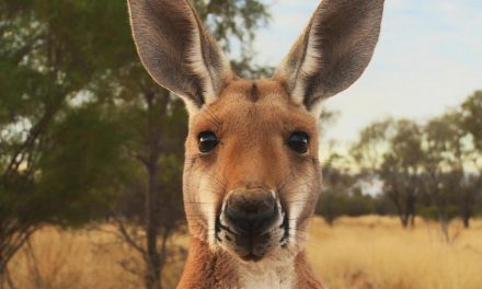WIN A Double Pass to Kangaroo at Dendy Cinemas