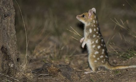 Frisky quolls are loving Canberra life!