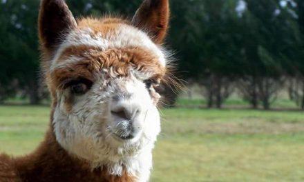 Alpaca Your Bags We're Saving The Farm