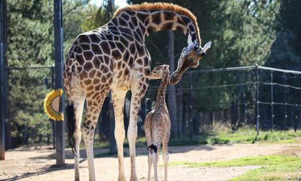 Your chance to name the baby giraffe at NZA